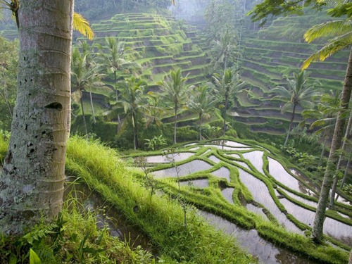 World_Asia_Terraced_Rice_Paddies___Ubud_Area___Bali___Indonesia_008968_