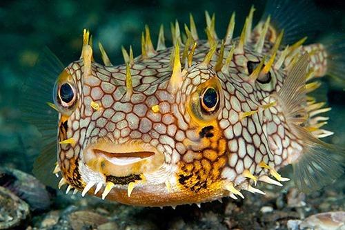 web-burrfish